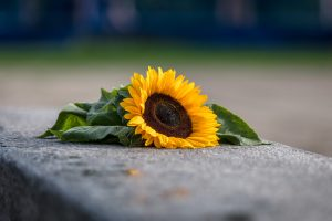Sunflower left alone on a concrete wall