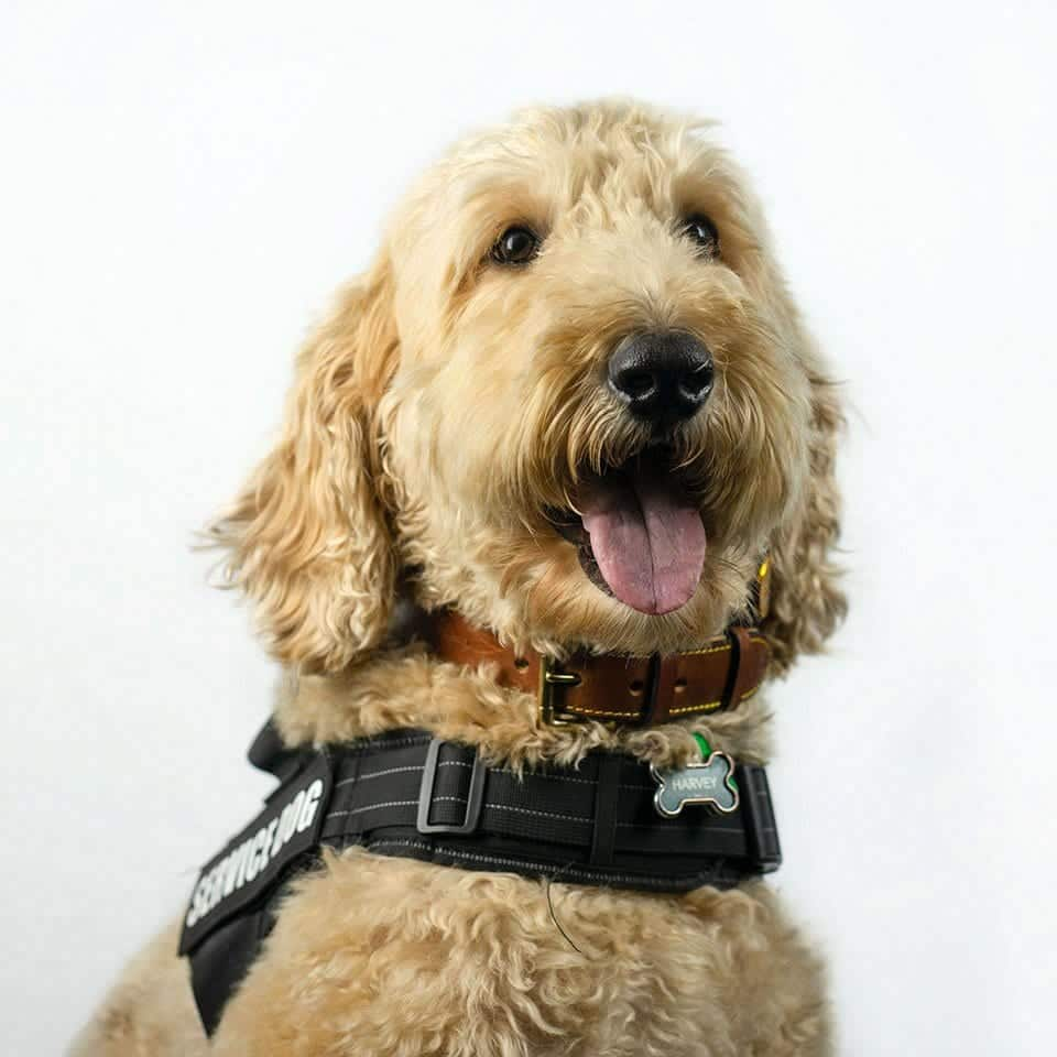 Chicago therapy dog Harvey